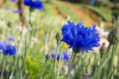 Blühende blaue Kornblumen Stockbilder