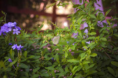 Blühende Bleiwurz mit Schmetterling auf ihm flache Tiefe O der Nahaufnahme Lizenzfreies Stockbild