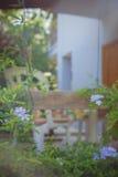 Blühende Bleiwurz wächst vor dem Sommerhaus Lizenzfreie Stockfotografie
