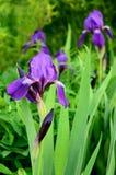Blühende Blende Stockfotografie