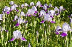 Blühende Blenden Stockfotografie