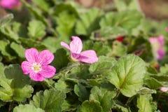 Blühende Blume. Lizenzfreie Stockfotografie