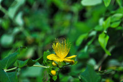 Blühende Blume Lizenzfreie Stockfotografie