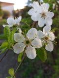 Blühende Blume Lizenzfreie Stockbilder