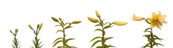 Blühende Blume der Stadien von Lilien Lilium-OT-Kreuzungen Lizenzfreies Stockfoto