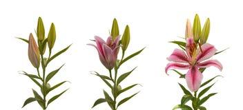Blühende Blume der Stadien von Lilium-OT-Kreuzungen mit den Knospen auf einem whi Stockfoto