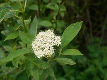Blühende Blume des Vogelkirschbaums Stockbilder