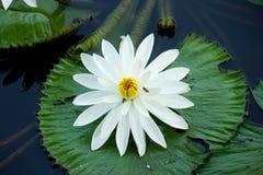 Blühende Blume des weißen Lotos lizenzfreies stockfoto
