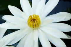 Blühende Blume des weißen Lotos lizenzfreie stockbilder