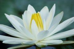 Blühende Blume des weißen Lotos lizenzfreies stockbild