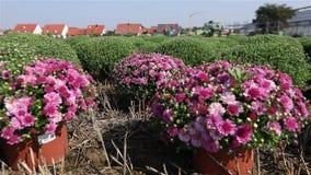 Blühende Blumen auf dem Gebiet, Traktor im Hintergrund stock footage