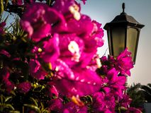 Blühende Blumen auf Lanzarote-Insel stockfotos