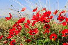 Blühende Blumen der Mohnblumenanemone Lizenzfreies Stockfoto