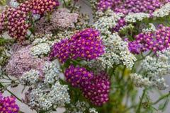 Blühende Blumen der Schafgarbe Lizenzfreies Stockbild