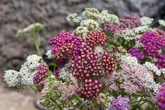 Blühende Blumen der Schafgarbe Stockfotografie