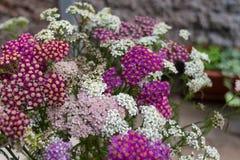 Blühende Blumen der Schafgarbe Lizenzfreies Stockfoto