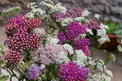 Blühende Blumen der Schafgarbe Stockfotos