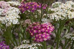 Blühende Blumen der Schafgarbe Lizenzfreie Stockbilder
