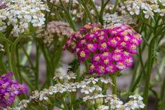 Blühende Blumen der Schafgarbe Stockfoto