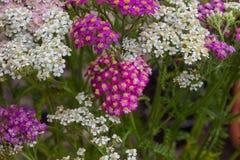 Blühende Blumen der Schafgarbe Lizenzfreie Stockfotografie