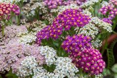 Blühende Blumen der Schafgarbe Lizenzfreie Stockfotos