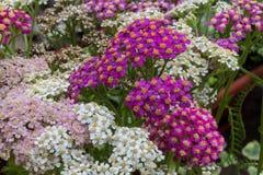 Blühende Blumen der Schafgarbe Stockbilder
