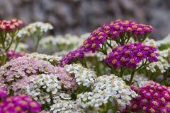 Blühende Blumen der Schafgarbe Stockbild