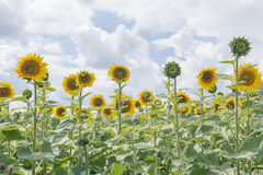 Blühende Blumen der Sonnenblume auf dem grünen Gebiet stockfoto