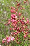 Blühende Blumen des Frühlinges Lizenzfreie Stockfotos