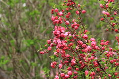 Blühende Blumen des Frühlinges Lizenzfreies Stockbild