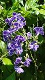 Blühende Blumen des Purpurs mit grünen Blättern Stockfoto
