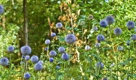 Blühende Blumen des Sommers in Arnhem Die Niederlande Juli lizenzfreies stockfoto