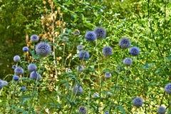 Blühende Blumen des Sommers in Arnhem Die Niederlande Juli lizenzfreies stockbild
