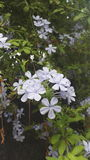 Blühende Blumen des Weiß Stockfotografie