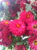 Blühende Blumen von Burgunder-Chrysantheme stockfoto
