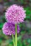Blühende Blumenköpfe der purpurroten Lauchzwiebel lizenzfreies stockfoto