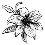 Blühende Blumenlilie der Skizze Stockfotos