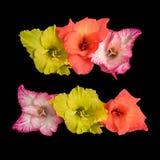 Blühende bunte Blumen lokalisiert auf weißem Hintergrund Lizenzfreie Stockfotografie