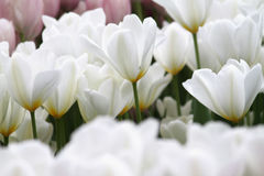 Blühende bunte Tulpen Stockbild
