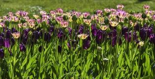 Blühende bunte Tulpen in einem Garten, Frühlingszeit in Polen Lizenzfreie Stockfotos