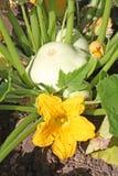 Blühende Buschkürbisanlage mit Früchten Stockfotografie