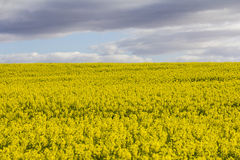 Blühende Canolaanlagen Lizenzfreies Stockbild