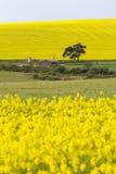 Blühende Canolaanlagen Stockfoto