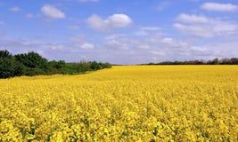Blühende Canolafelder Stockbild