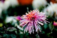 Blühende Chrysantheme Stockbilder