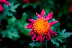 Blühende Chrysanthemen Lizenzfreie Stockfotografie