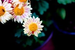 Blühende Chrysanthemen Stockbilder