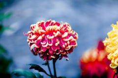 Blühende Chrysanthemen Stockfotos