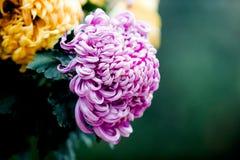 Blühende Chrysanthemen Stockbild