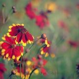 Blühende Coreopsisblumen Lizenzfreies Stockbild